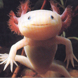 Axolotl