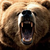 Species-spotlight-grizzly-bear-brown-mouth-open-black-nose-attacking-growling-biting-photo-468x351