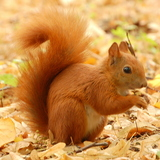 Red_squirrel2