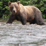 Grizzly_bears_155