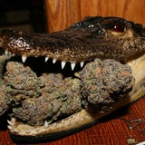 Gator