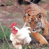 Tigerrapechicken