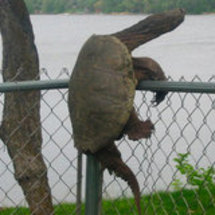 Turtle_climbing_fence