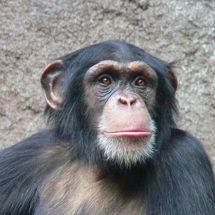 600px-chimpanzee-head