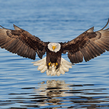 Alaska_eagles_ds7_8992a