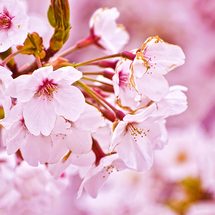 Cherry_blossom_wallpaper_hd_1